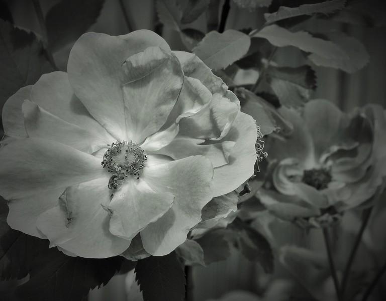 Wild Roses-Barbara Rackel