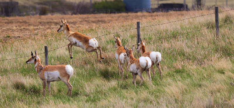 Antelope On The Run-Dwight Dirk
