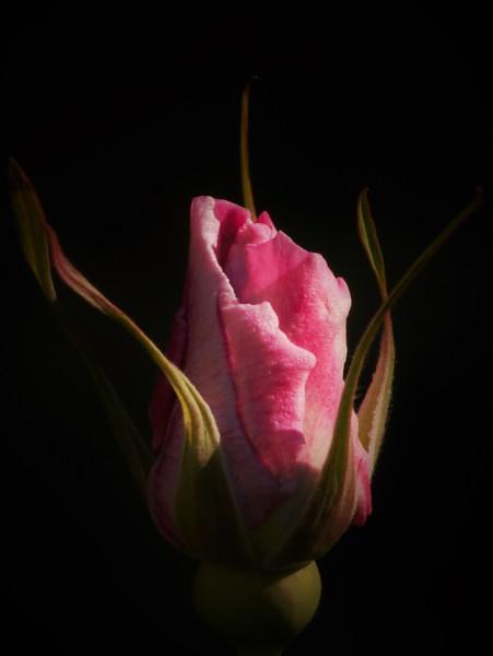 Rose Greets The Morning Sun-Barbara Rackel
