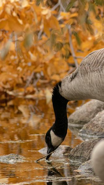 2-Goose Neck-James Clow