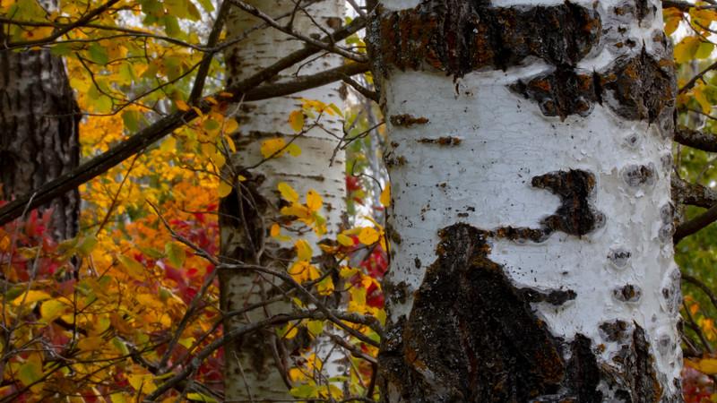 2-Birch Trees-James Clow