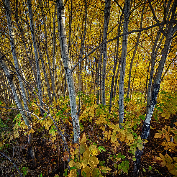 2-Birch Trees-Barry Singer