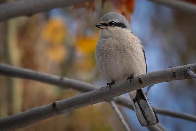 3-The Butcher Bird-Cathleen Mewis