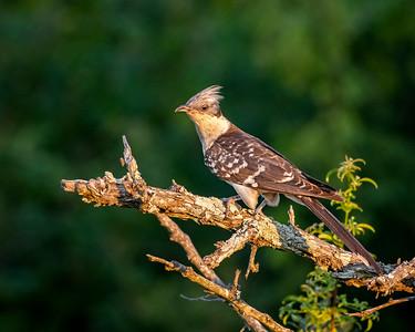 3-Cuckoo-Jane Hiebert