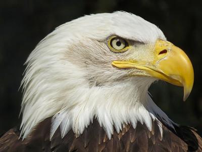 3-Bald Eagle-Rob Arthur