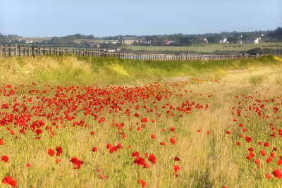 Poppies by the Sea-1L8A9312