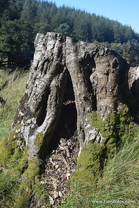 The rotten stump - you can see the button mushrooms through the crack in the trunk.