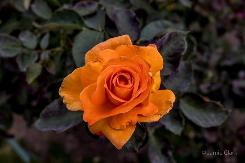 Orange Rose. Sacramento, CA