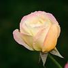 7-21-10<br /> <br /> Morning rose