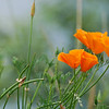 California Poppies by the river