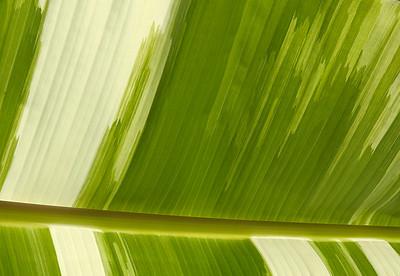 Variegated Banana Leaf