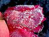 Frozen Tulip