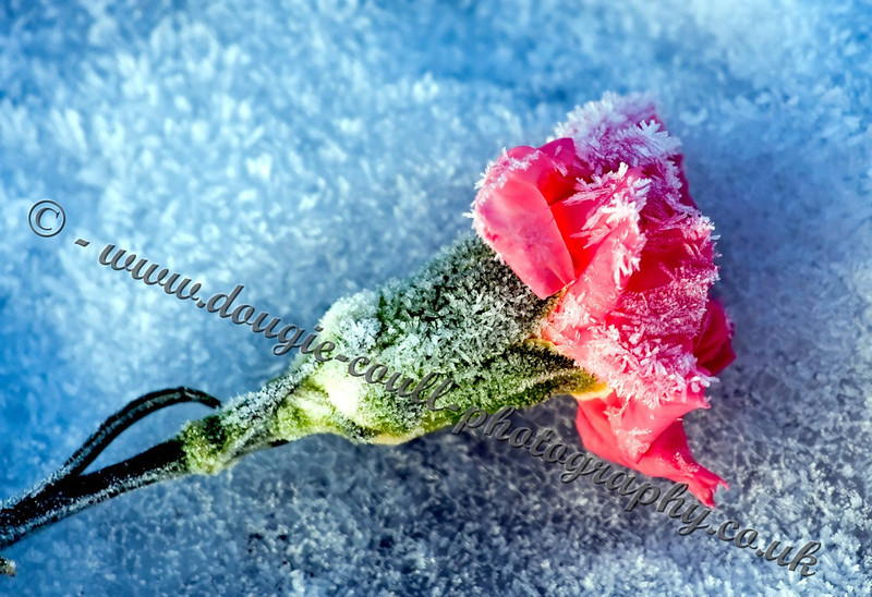 Cold Flower