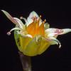 Echeveria Flower (3)