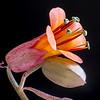 Kalanchoe flower (2)