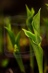 Lilly of the Field, thinking about blooming, absorbing some of the evening's rain. (tripod, cable release, mirror-lock-up, 36mm extension tube, LV focus)
