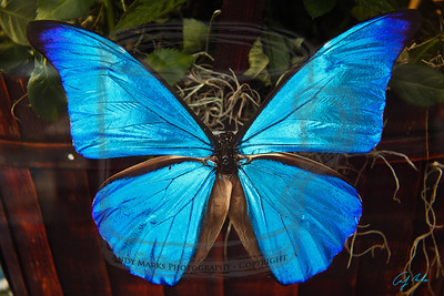 """Morpho rhetenor, a South American butterfly with (yep) iridescent blue wings. It's color is described in """"The Gecko's Foot"""", around pg101. There are structural """"channels"""" (viewable w an electron microscope (set on """"11"""")) in the scales on its wings that amplify blue wave lengths. 27-Dec-11.  note: I bought this fellow from """"ButterflyUtopia.com"""" for my wife this Christmas. They're raised commercially for jewelry, inlays, and display. note2: Shot with a 24-105 and a 12mm extension tube from a distance of about 10"""". Live-view manual focus. Natural light from the left, just a bit before sundown."""