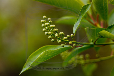 Choke Cherry (tripod, cable release, mirror-lock-up, 36mm extension tube, LV focus)