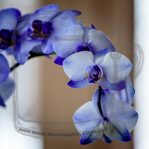 Smith's Gemstone Orchid, from Thanksgivika
