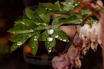 Rain on bleeding heart plant: bled heart by the looks of it. (tripod, cable release, mirror-lock-up, 36mm extension tube, LV focus)