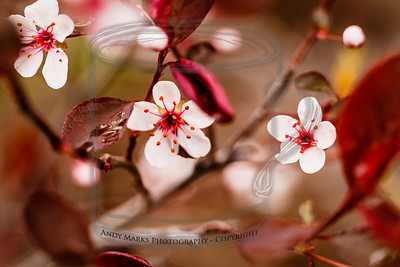 Tiny white flowers and water drops on a flowering plum (i think). (tripod, cable release, mirror-lock-up, 36mm extension tube, LV focus)