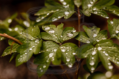 These glistening rain drops caught my eye and made me take my camera out this morning. (tripod, cable release, mirror-lock-up, 36mm extension tube, LV focus)