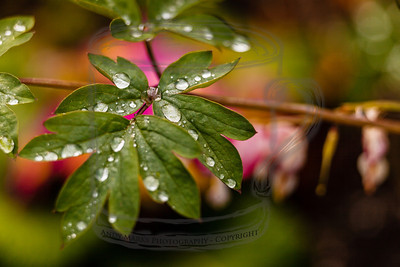 Rain on a bleeding heart, with grocery store plants providing background color. (tripod, cable release, mirror-lock-up, 36mm extension tube, LV focus)