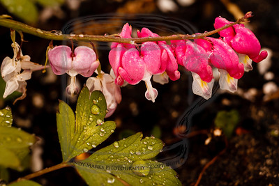 Rain on a bleeding heart. (tripod, cable release, mirror-lock-up, 36mm extension tube, LV focus)