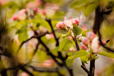 Apple blossoms that have survived the snow and wildly cyclic weather this spring. (Used the LR4 local adjustment brush to help separate the bud and leaves from the others.) (tripod, cable release, mirror lockup, 36mm extension tube, 70-200 lens)
