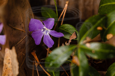 Vinca, hiding in the corner of the yard with all the detritus of winter crowding it.  (tripod, cable release, mirror-lock-up, 36mm extension tube, LV focus)