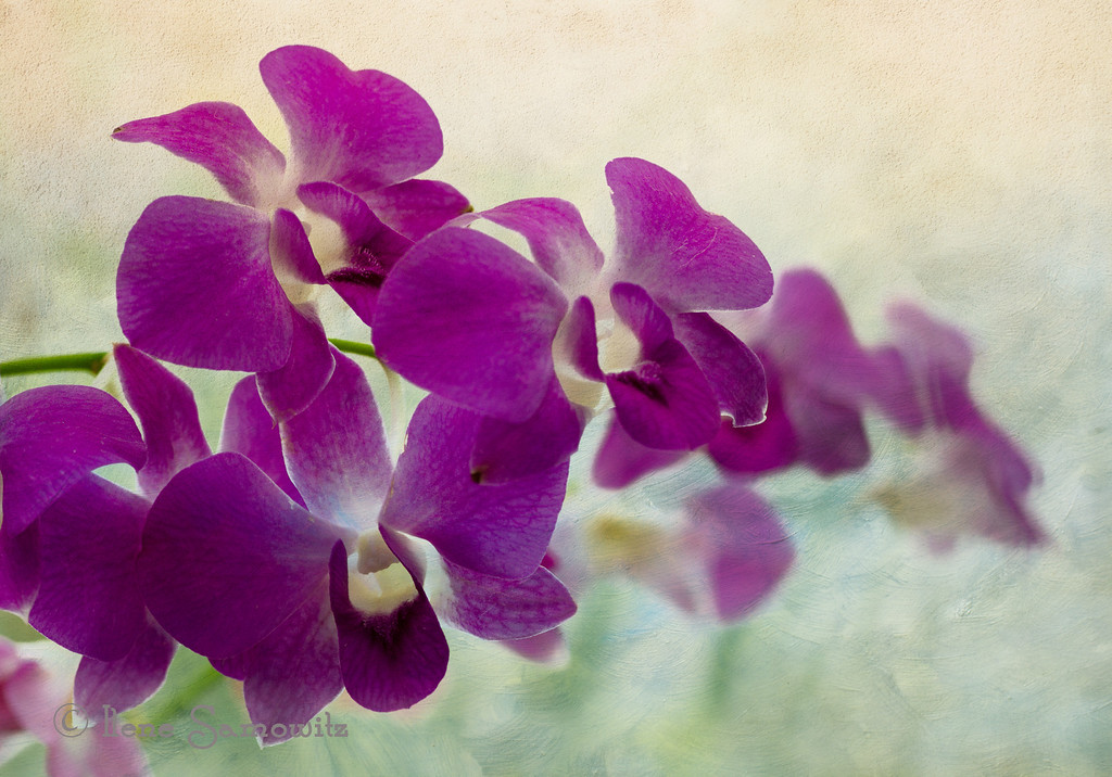 Orchid Dreams