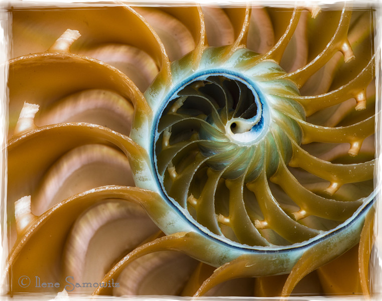 9-19-12 Nautilus Close Up - This is a single macro exposure that was post processed in Lightroom 4 and Color Effex 4.0 and the frame comes from Photoframe.<br /> <br /> Critiques Welcome.<br /> <br /> I  hope to be able to comment more next week.  Thanks for understanding.