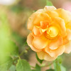 ETC2553      Yellow Rose    JDA_2145