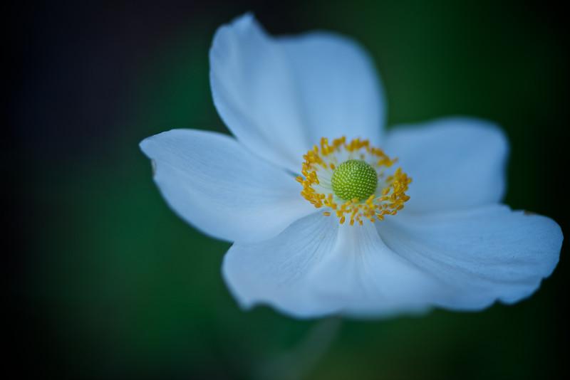 ETC2517  White Flower DSC_9249