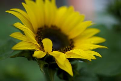 """ETC-3178  """"Sunflower and Raindrops"""""""