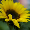 "ETC-3178  ""Sunflower and Raindrops"""
