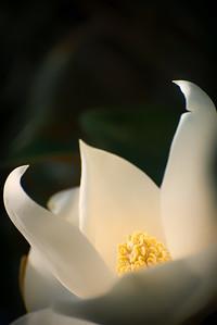 """ETC-3155  """"Magnolia in the Light"""""""
