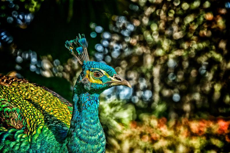 ETC2551  Peacock  High Detail  JDA_3680