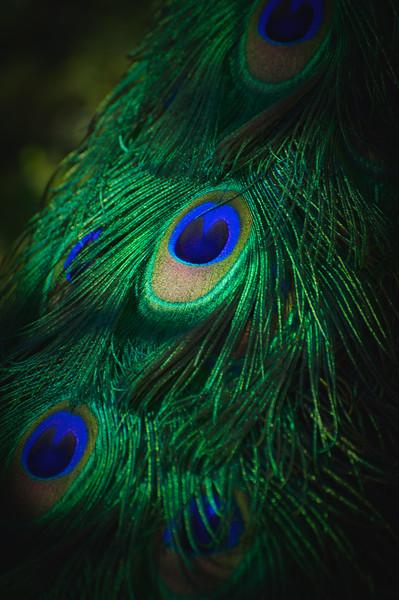 "ETC-3200  ""Eye of a Peacock Plume"""