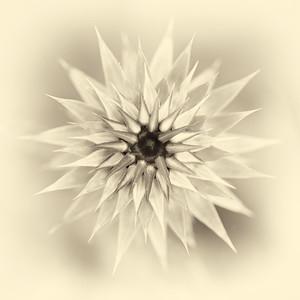 "ETC-3166  ""Flower Starburst in Sepia"""