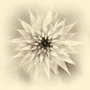"ETC-3166  ""Flower Starburst in Sepia"""