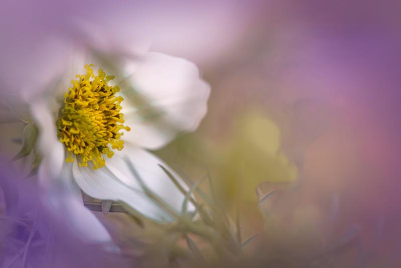 """ETC-3405  """"Hidden in Lilac"""""""