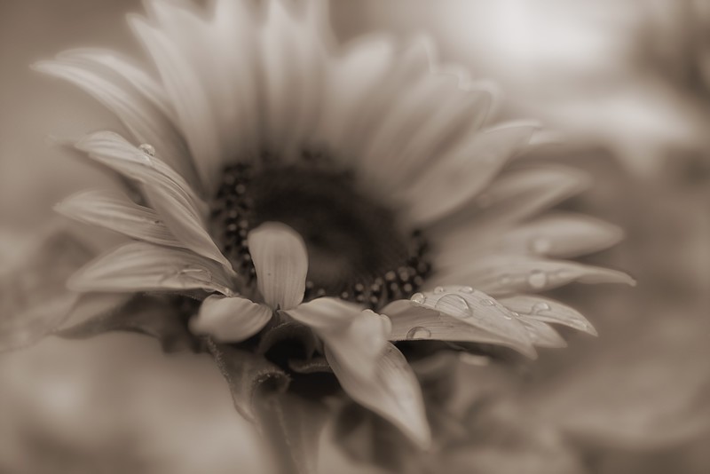 "ETC-3153  ""Sunflower with Droplets in Sepia"""