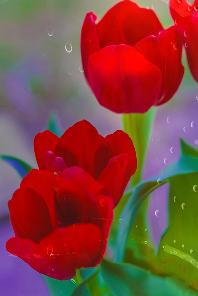 "ETC-3464  ""Tulips and Raindrops"""