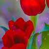 "ETC-3464  ""Tulips and Raindrops"""