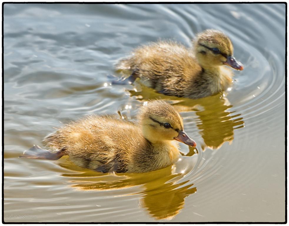 Ducklings in Dow's Lake