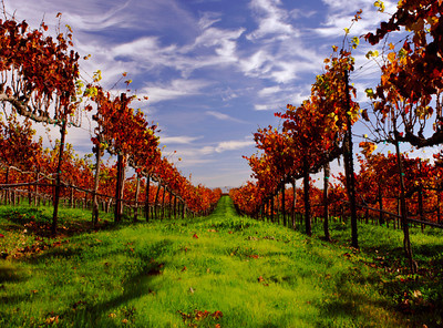Carneros vineyards