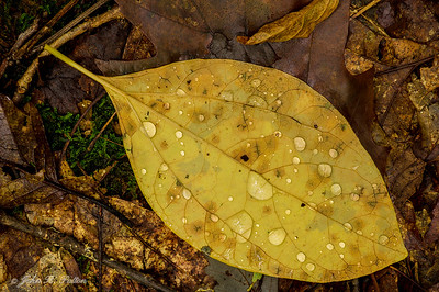 Yellow leaf and rain drops
