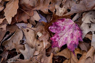 Purple maple leaf on brown leaves.