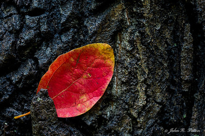 Red leaf on bark